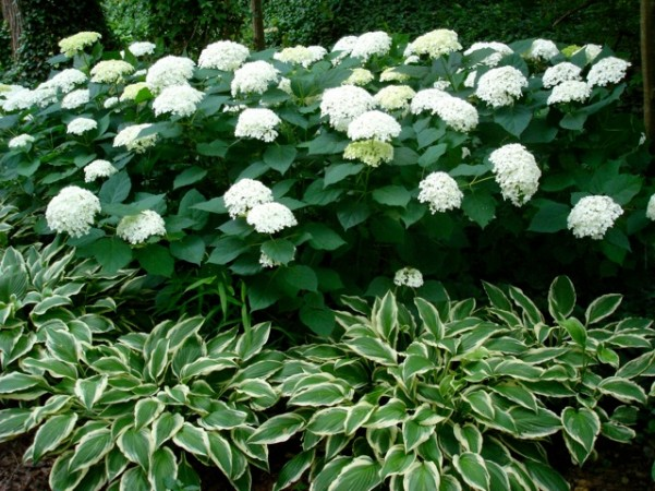 Annabelle Hydrangea: Horseback ride too Horticulture Hall of Fame.