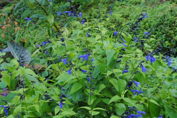 "Salvia guaranitica ""Black and Blue"""